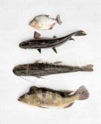 <p>Piranhas, fasacos, zungaros et tucunarés, Mucha Vista, Pérou / Photo: Yann Gross</p>